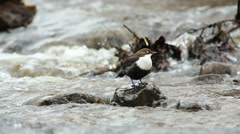 Bird Dipper in river on a rock, side view Stock Footage