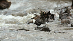 Bird Dipper in river on a rock, lifting wings stretching turn around Stock Footage