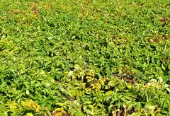 Arable with potatoes. Stock Photos