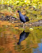 waterfowl - stock photo