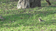 Stock Video Footage of park, starlings