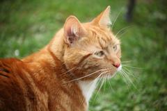 Ginger cat's whiskers - stock photo