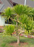 Dracaena loureiri tree (ornamental garden plant) Stock Photos