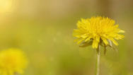 Stock Video Footage of yellow dandelion in the wind