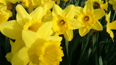 Yellow daffodils with yellow flower in middle Stock Footage