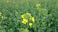 Fleet bee collects pollen from yellow rape flowers Stock Footage