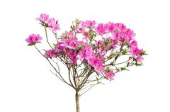 Pink azalea blooming on tree isolated on white background Stock Photos