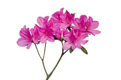 pink azalea isolated on white background - stock photo