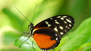 Stock Video Footage of tropical butterfly