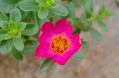 portulaca flower - stock photo