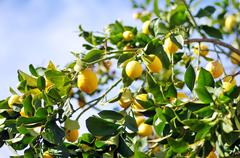 Lemons on lemon tree Stock Photos