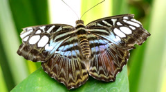 tropical butterfly - stock footage