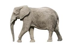 African elephant with clipping path Stock Photos