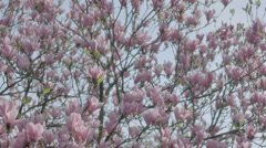 Big Pink Magnolia Tree - 29,97FPS NTSC Stock Footage