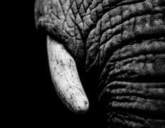 Elephant Tusk black and white Stock Photos
