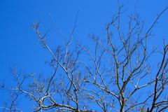 bare tree limbs with new buds on southern barrier island - stock photo