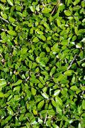Stock Photo of hedge leaves background vertical