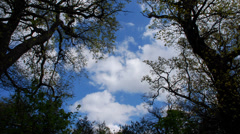 Trees canopy timelapse Stock Footage