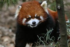 Red Panda 3 - stock photo