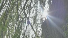 Sun Lens Flare from behind Weeping Willow Tree Trunk - 29,97FPS NTSC Stock Footage
