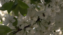Bee collecting pollen from cherry wood Stock Footage