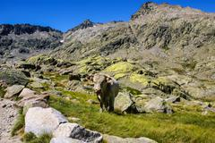 cow with mountains in the gredos,avila,spain - stock photo