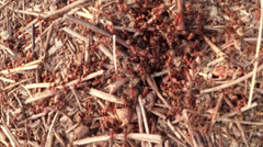 The ant hill in a mountain forest Stock Footage