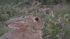 Cute Cottontail Rabbit Stock Footage