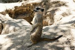 european ground squirrel (spermophilus citellus, suslik, gopher) - stock photo