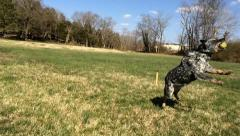 Dog Leaping for Ball Stock Footage