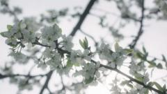 White Cherry Spring Blossom Tree Flowers - 29,97FPS NTSC Stock Footage