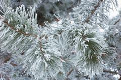 green pine branch in winter season - stock photo