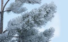 pine branch with white frost - stock photo
