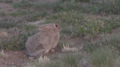 Cottontail Rabbit Zoom In Stock Footage