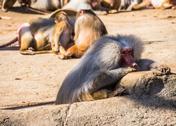 Baboon Stock Photos