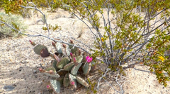 Flowering Prickly Pear Cactus Under Creosote Stock Footage