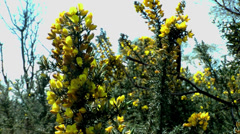 Rough gorse plants blowing in the spring breeze, wirral, England, circa april 20 Stock Footage