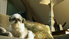 Pampered little dog in cottage Stock Footage