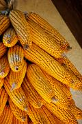 Golden colored dry ecological corn harvest Stock Photos