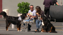 Pair of Bernese Mountain dogs in Britomart, Auckland Stock Footage