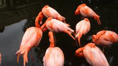 Group of flamingos sleeping - stock footage