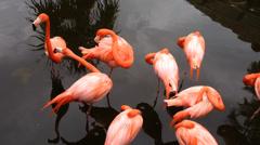 Flamingo group grooming - stock footage