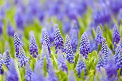 Grape hyacinth in spring Stock Photos