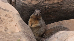 Squirrel in Grand Canyon Stock Footage