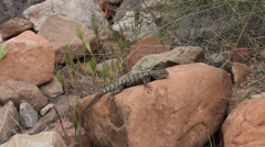 Spiny lizard in Grand Canyon Stock Footage