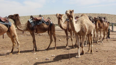 Camels in the hot desert Stock Footage