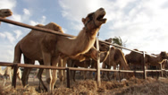 Stock Video Footage of Camels on a ranch chewing their cud
