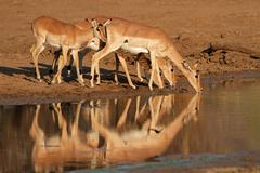 Impala antelopes drinking - stock photo