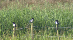 Three European Magpie (pica pica) perched on a fence, twittering Stock Footage
