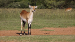 Red lechwe antelope Stock Footage